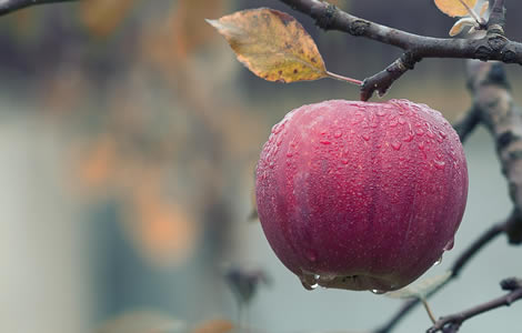 dewy apple - photo from pixaby